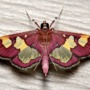 The beauty of moths: Moths of Tennessee, USA