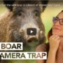 Learn about wild boars!